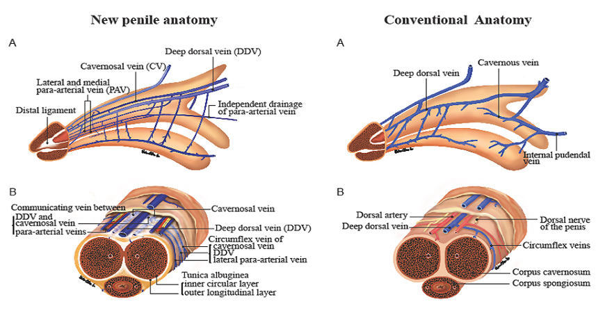 Venous Stripping Surgery Services Hsus Andrology